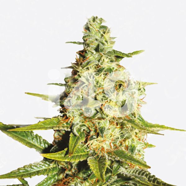 Buy auto Tangerine strain seeds in the usa