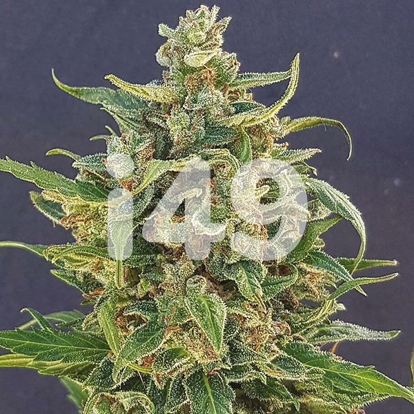 Autoflower Triple XL Seeds USA
