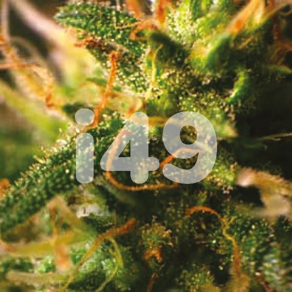 Buy Northern Lights x C99 Strain Seeds in the USA