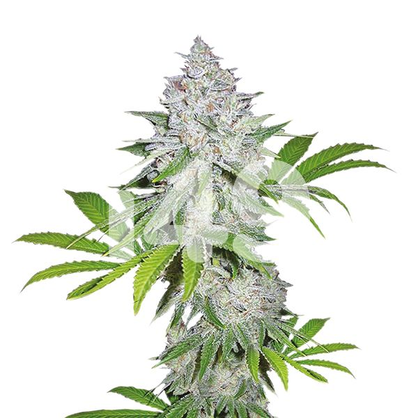 buy auto White Widow X California Snow strain seeds in the usa