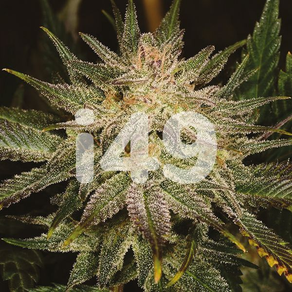 Buy Banana Punch Strain Seeds in the USA