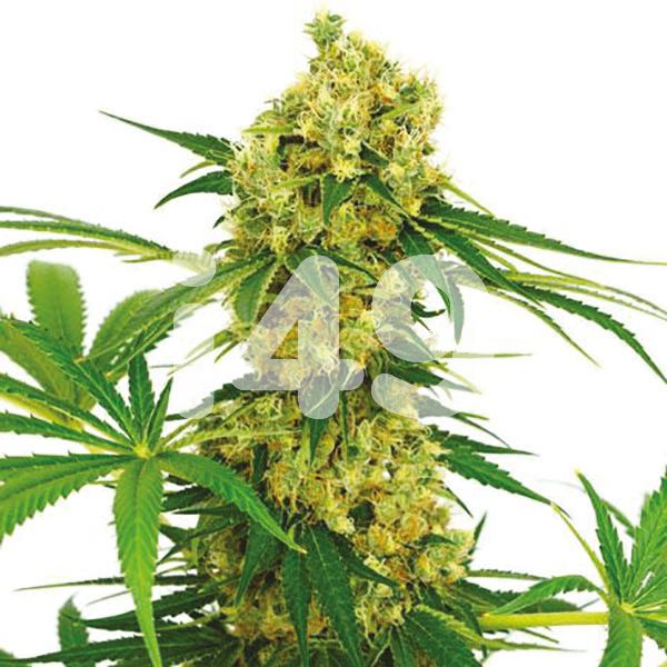 Buy Chocolope Seeds Online USA