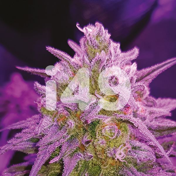 Autoflower Critical Purple Strain Seeds