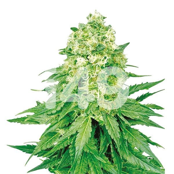 Buy Bruce Banner x White Russian Seeds Online