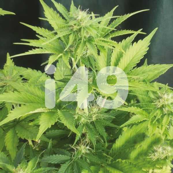 Autoflower Critical x Mazar Seeds For sale