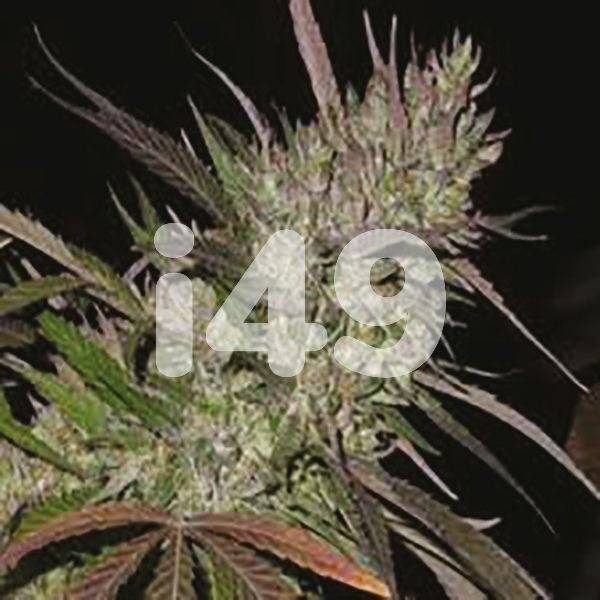 Buy Pure Indica Seeds for sale in USA
