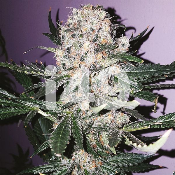 Buy Black Domina x Scott's OG Seeds USA