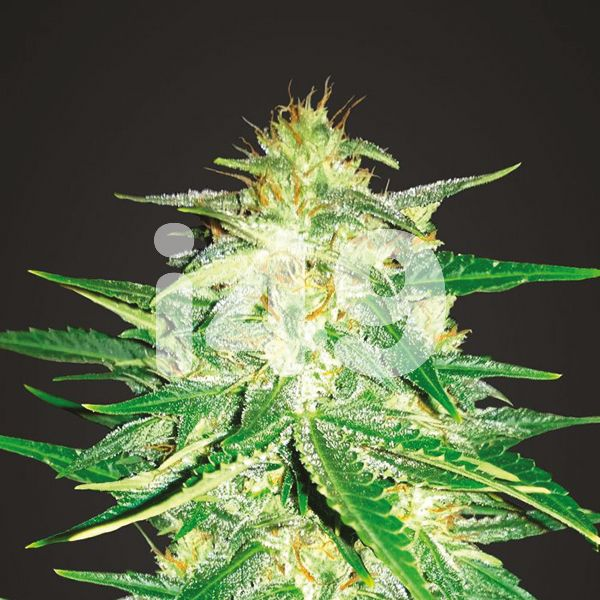 buy-ak-47-fast-strain-seeds-in-the-usa