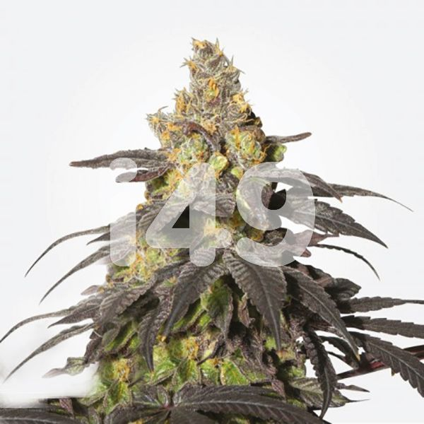buy-purple-urkle-seeds