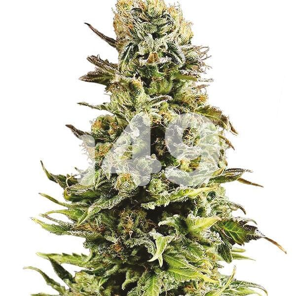 Super Skunk auto seeds for sale
