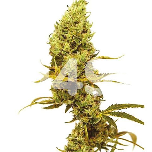 Buy Gold Leaf Autoflower Marijuana Seeds