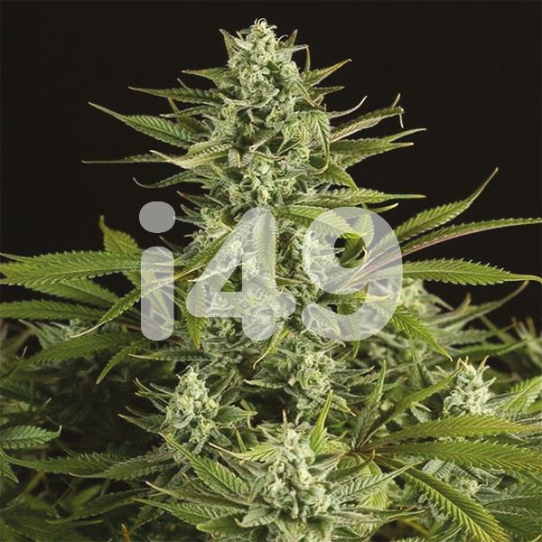 Buy CBD Cheese Strain Seeds In the USA