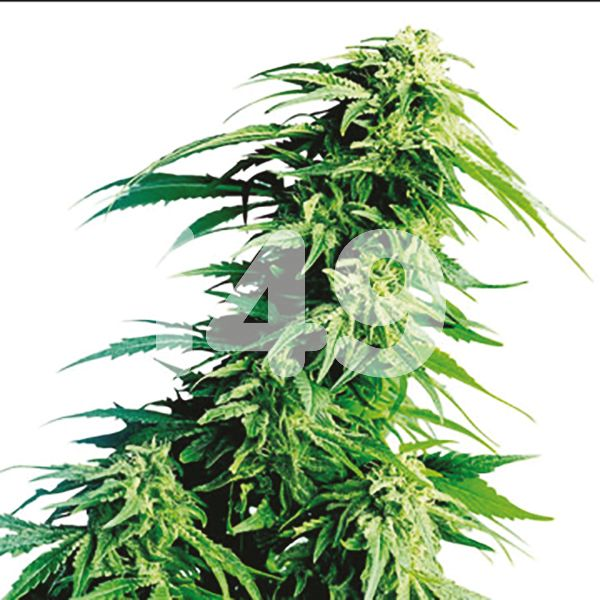 Buy Auto Kush XL Cannabis Seeds For Sale