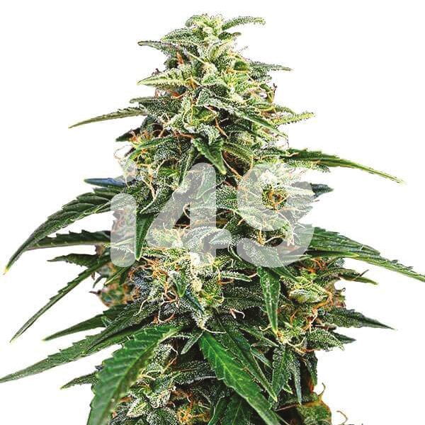 Buy Amnesia Seeds For Sale