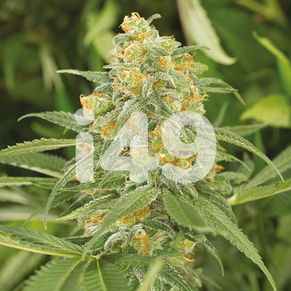Buy Green Crack x Somango Strain Seeds Online in the USA
