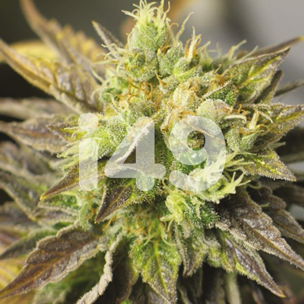Autoflower NY Diesel Seeds for Sale USA