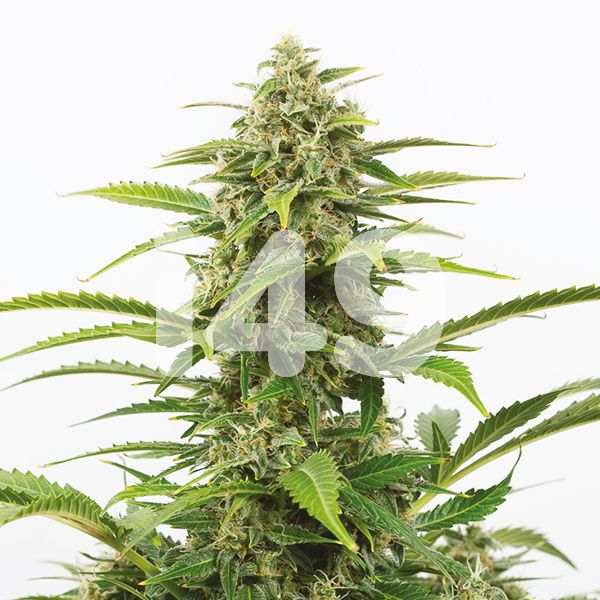 Critical Plus Seeds