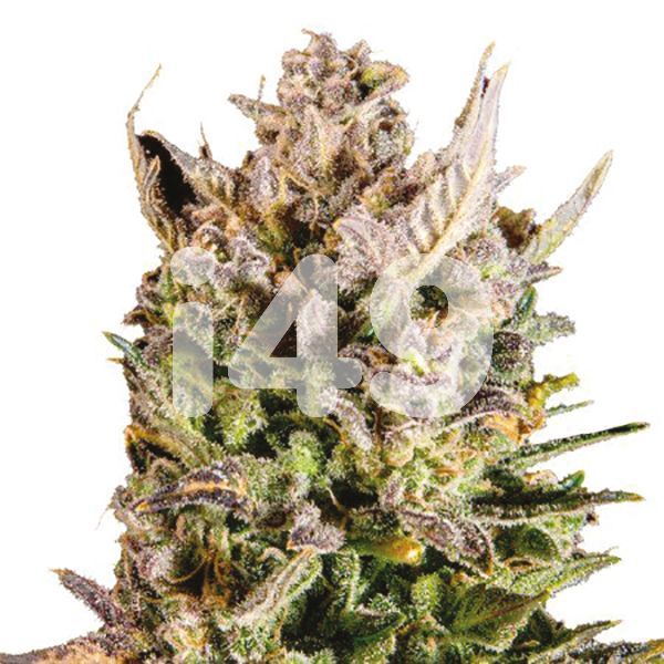 Buy Mango Kush Strain Seeds Online in the USa