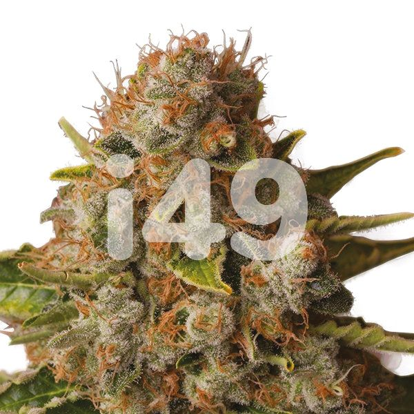 buy auto white widow strain seeds in the usa