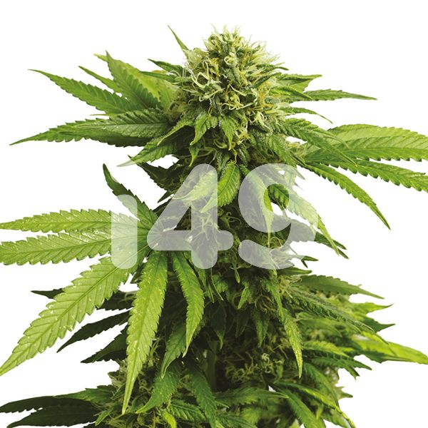 CBD ACDC Seeds for Sale