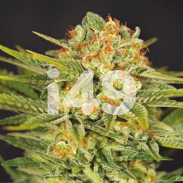 Buy Killer Strain Seeds Online