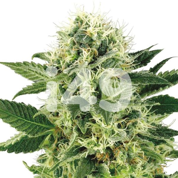 Buy Northern LightsStrain Seeds in the USA