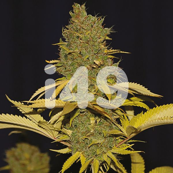buy-badazz-cheese-seeds-for-sale